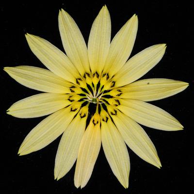 Bulb. cumingii 'Palawan Yellow'-2438