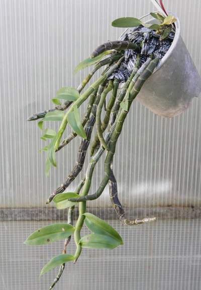 polyanthum-4251