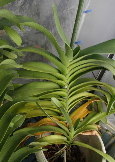 Vandopsis gigantea-4975