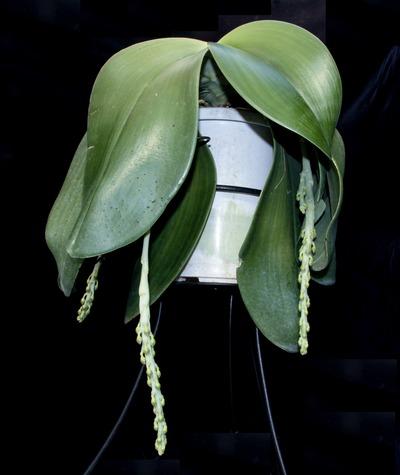 Phal. gigantea 'Aso'-6432