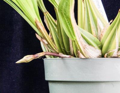 Coryanthes  trifoliata-005
