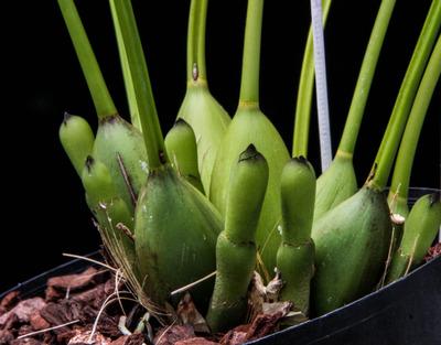 Dendrochilum latifolium-2242