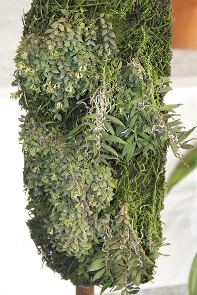 Gastrochilus toramanum 'Yu'-6215