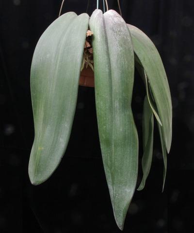 phalaenopsis-4592