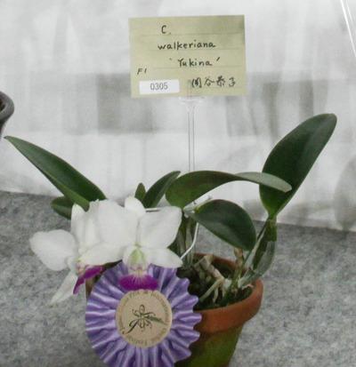 izu-inslaris  'Byakuren'-6740