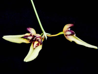 Bulb. macraei-2626
