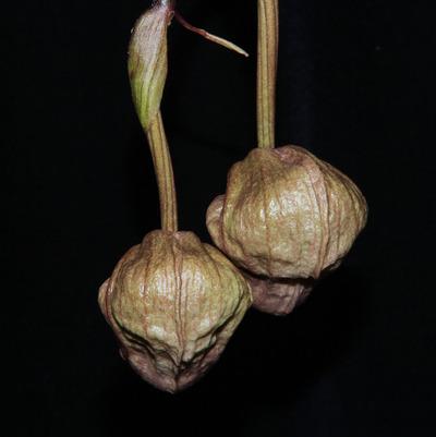 Coryanthes trifoliata-2309