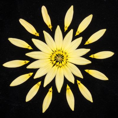 Bulb. cumingii 'Palawan Yellow'-2444