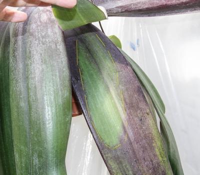 phalaenoopsis -021