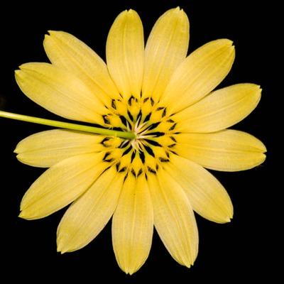 Bulb. cumingii 'Palawan Yellow'-2289-3