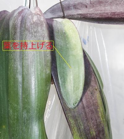 phalaenoopsis -018