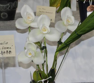 Eiko x Shoalhaven) 'Araki'  BM-6380
