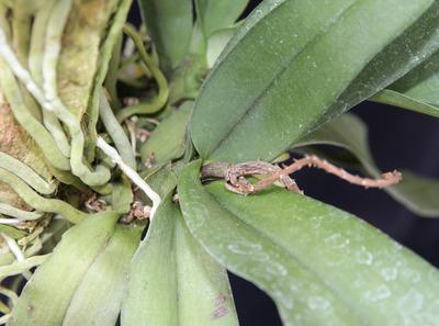 Pomatocalpa spicatum-4720