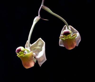 Coryanthes triifoliata-2486