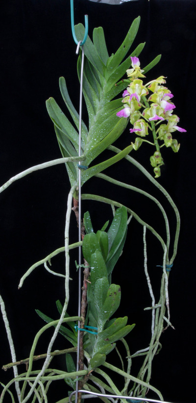 Aerides houlletiana-2386