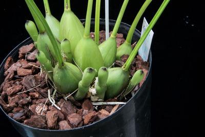 Dendrochilum latifolium-2236
