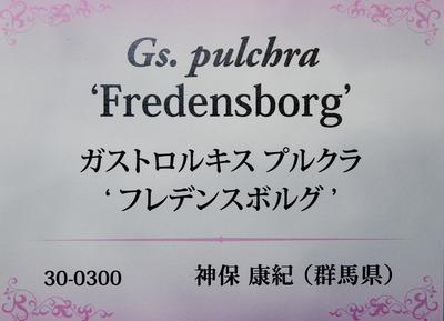 Gs. pulchra 'Fredensborg'-6948