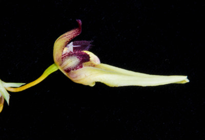 Bulb. macraei-2617