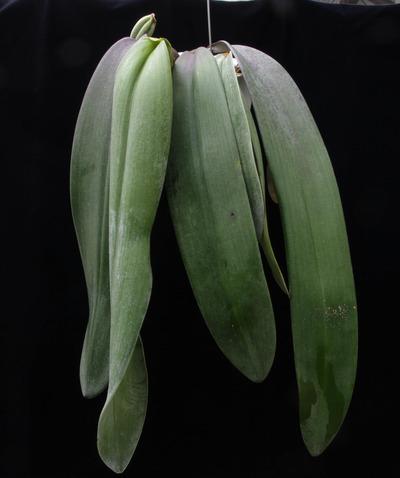 phalaenopsis-7530