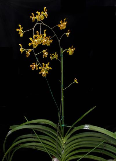 Arachnis beccarii-2630-2