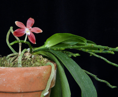 Phal. speciosa-2798