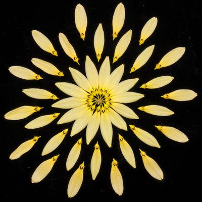 Bulb. cumingii 'Palawan Yellow'-2449
