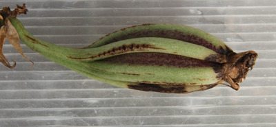 virescens x graveolens-7543-2
