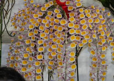 polyanthum ''-6659