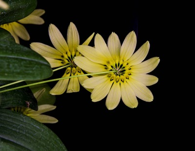 Bulb. cumingii 'Palawan Yellow'-2266