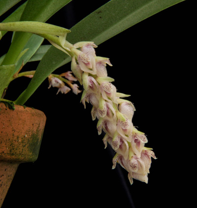 Bulb. lilacinum-2808