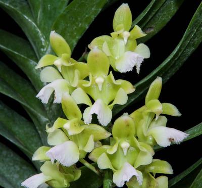 Aer. houlletiana f. alba-2421