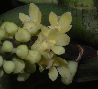 Pomatocalpa spicatum-7347