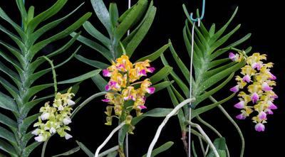 Aerides houlletiana 'Aso'-2577