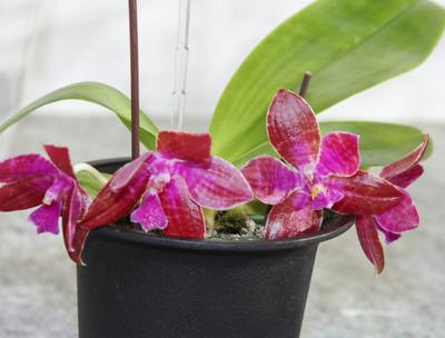 lueddemaniana 'Joseph Wu Orchids'-6317