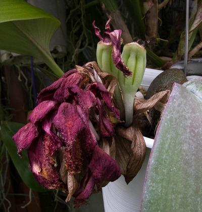 phalaenopsis-0788