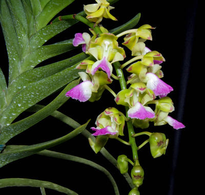 Aerides houlletiana-2384