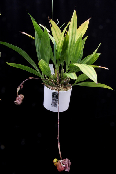 Coryanthes trifoliata-1659