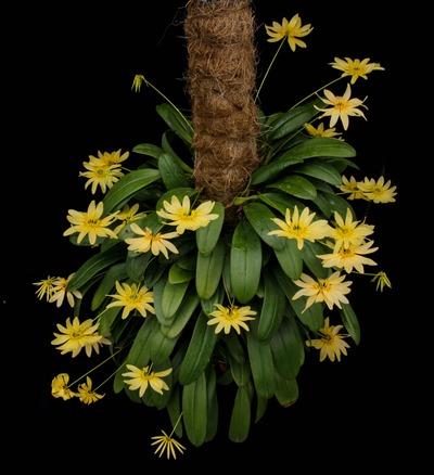 Bulb. cumingii 'Palawan Yellow'-2259