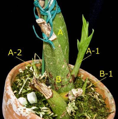 Peristeria ephippium-2682