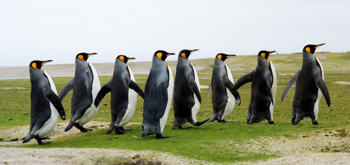 storyblocks-8-king-penguins-walking-in-a-line_HE5RkFa4f
