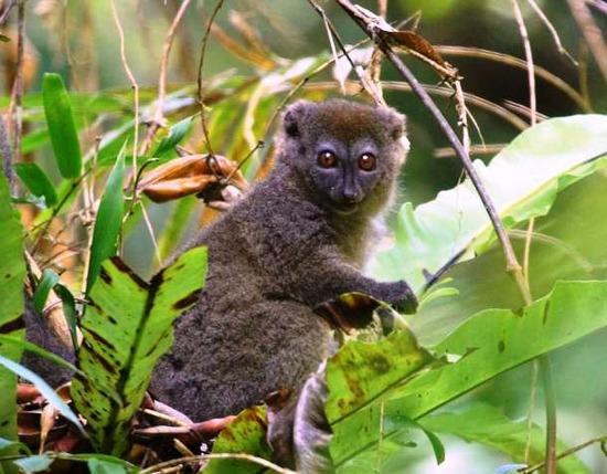 com-Bamboo-lemur