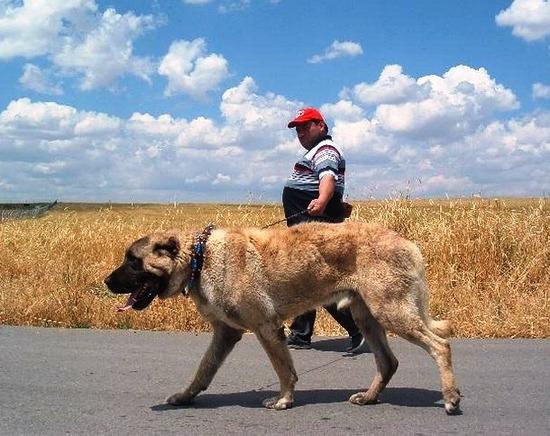 com-Kangal_Dog_2