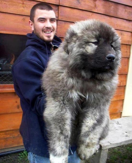 caucasian-shepherd-puppy