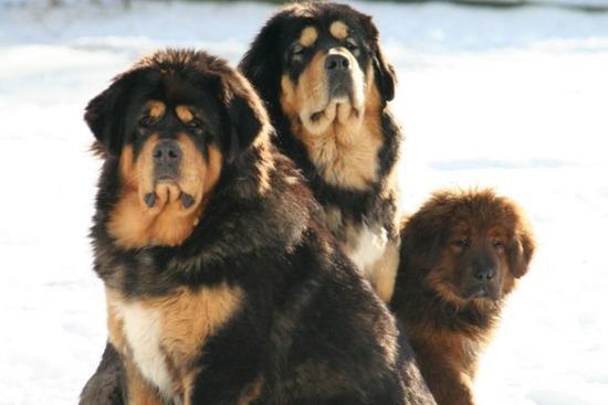 com-Tibetan-Mastiff