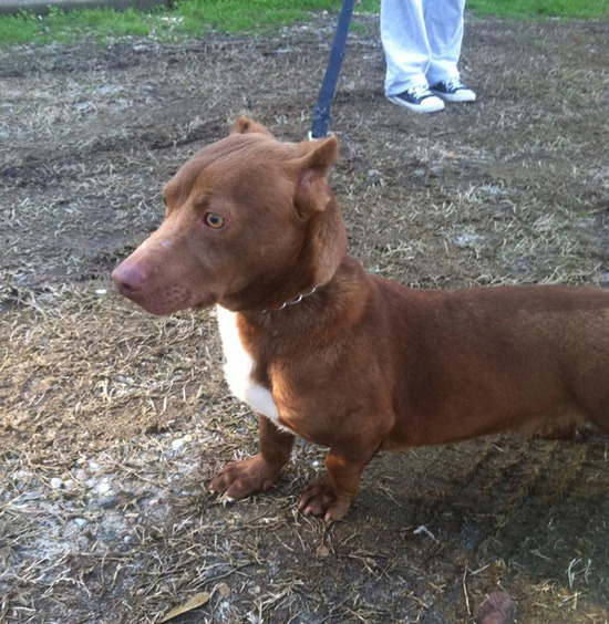 pitbull-dachshund-mix-breed-dog-rami-3