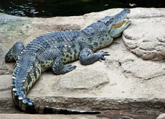 com-gdr-crocodylus-siamensis-07021
