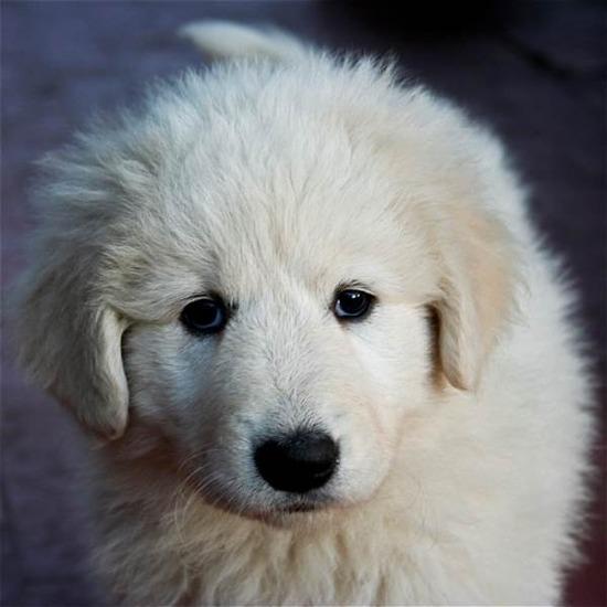 fluffy-white-puppy