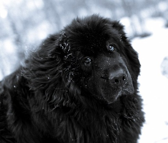 net-newfoundland-dog-in-the-snow-photo