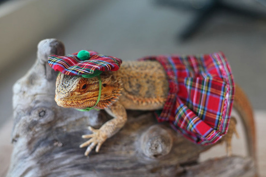 pringle-bearded-dragon-1