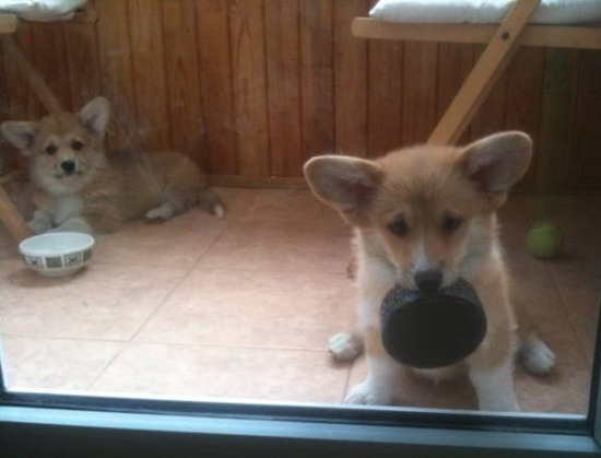 cutest-puppy-pictures-corgis